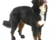 Pawz Medium Black – каучукова водоустойчива обувка за кучета с дължина на лапата до 7.5 см. 1 брой