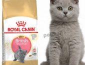 Kitten British Shorthair –  британски късокосмести котенца (до 12 месечна възраст) – 10 kg