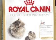 Kitten Persian 32 – Персийски котенца от 4 до 12 месеца – 400 gr.